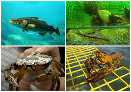 impacts that rising ocean ratures will have on important mercial fisheries in the gulf of maine including cod top left clams and lobster