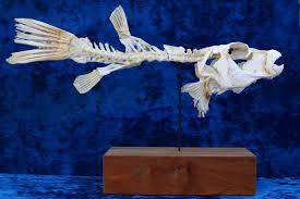 parrot fish articulated skeleton sparisoma chrysopterum 37 x 24 x 12cm