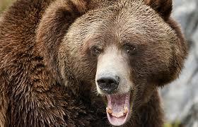 oso pardo atacando