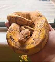 Banana Ball Python Care Guide With Snake Handling Feeding