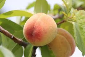 Best 25 Pruning Plum Trees Ideas On Pinterest  Prune Ideas Plum Tree Flowers But No Fruit