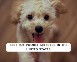 10 best toy poodle breeders in the
