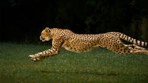 running cheetah hd wallpapers wallpaperscharlie 1920x1080