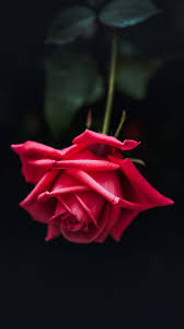 30 Red Rose iPhone Wallpapers ...