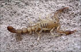 Scorpion: Serradigitus calidus