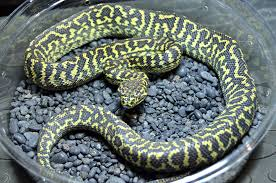 zxn141 zebra jungle carpet python82 carpet