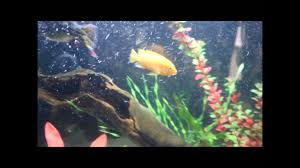 African Cichlid Aggression Chart Most Aggressive African Cichlid