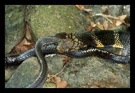 king cobra snake eating.  Snake King Cobra Snake Eating  Photo4 Inside Cobra Snake Eating V