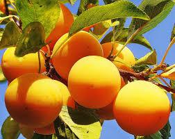 Plums  San Diego Edible Garden SocietyPlum Fruit Tree Varieties