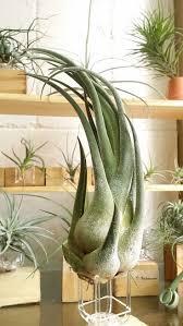 Love the idea of air plants tillandsia seleriana.