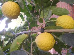 Balang Tree In My Dadu0027s Backyard  All Things Persian  Pinterest Iranian Fruit Trees