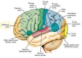 Cortex hersenen