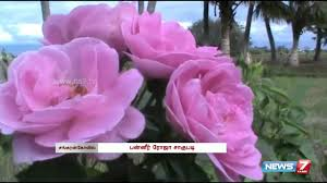 paneer rose cultivation kicks off at sankarankovil tamil nadu news7 tamil