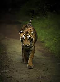Forest Tiger Pictures