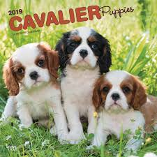 cavalier king charles puppies 2019 wall calendar calendars books gifts