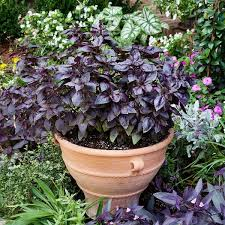 This gorgeous variety of basil still whips up a delicious (purple) pesto,  but also brings stunning color to your garden beds. Plant these guys after  all ...