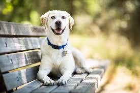 labrador retriever.  Retriever For Labrador Retriever