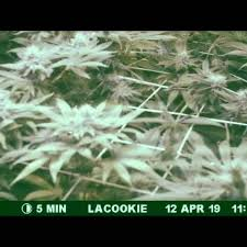 Emerald Goddess Feed Chart The Cali Connection La Cookies Grow Journal Week12 By