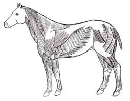 Equine Muscular System