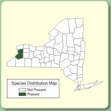 Silphium asteriscus var. trifoliatum - Species Page - NYFA: New ...