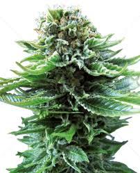 Sensi Seeds Northern Lights Grow Nl Auto Sensi Seeds Feminized