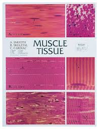 Microscope Magnification Chart Muscle Tissue Chart Teaching Supplies Classroom Safety