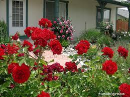 Front-yard-rose-garden