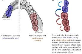 predicting human evolution teeth tell the story one rule to grow them all