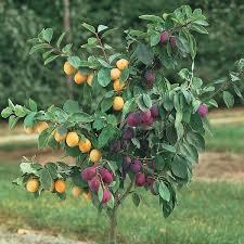 Best 25 Pruning Plum Trees Ideas On Pinterest  Plum Tree Care Plum Tree Not Producing Fruit