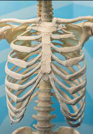 The thoracic cage (rib cage) is the skeletal framework of the thoracic wall, which encloses because cartilaginous structures such as the intervertebral discs (between the thoracic vertebrae) and costal. The Rib Cage The Skeletal Structure Museum Of Osteology Facebook