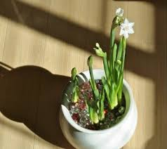 White Paper Flower Bulbs Paperwhite Bulb Forcing How To Force Paperwhite Bulbs Indoors