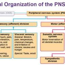 Cns And Pns Chart Peripheral Nervous System Flowchart Www Bedowntowndaytona Com