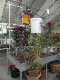 bucket gardening. Bucket Gardening In A Greenhouse