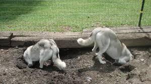 dog fence digging
