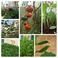 Terrace Kitchen Garden Preeti Shenoys Blog On Starting An Organic Terrace Garden