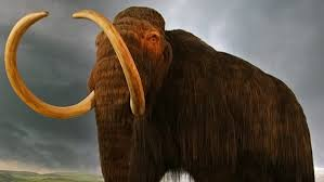 back from extinction scientists plan to clone woolly mammoth the woolly mammoth also referred to as the tundra mammoth or woollies has been extinct for thousands of years every once in a while expedition crews