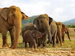 baby elephant photo save elephant foundation baby elephant navann and family herd