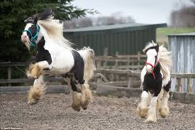 cantering in their paddock these black and white horses look a picture of health