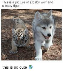 cute memes and tiger this is a picture of a baby wolf and