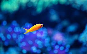 Fancy Wallpaper Download Little Fancy Fish Hd 4k Wallpapers In 2048x1152 Screen