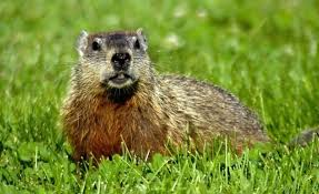 how to keep groundhogs out of my garden. How To Keep Woodchucks Out Of The Garden Groundhogs Yard . My M