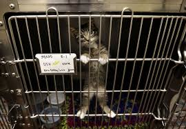 cats in animal shelters.  Shelters Cute Dogs Cats Await Adoption At S Utah Valley Animal Shelter Inside Cats In Shelters D