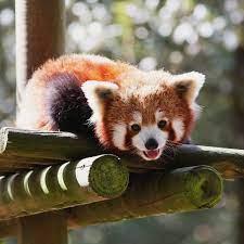 High Resolution Red Panda Wallpaper ...