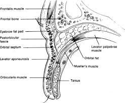 Eyelid Anatomy Surgical Anatomy Of The Eyelids And Orbit Ento Key