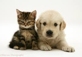 golden retriever puppy and kitten. Plain Puppy Tabby Kitten And Golden Retriever Puppy White Background For Puppy And S