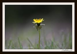 william wordsworth poem i wandered lonely as a cloud writework dandelion flower