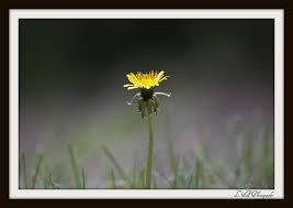 william wordsworth poem i wandered lonely as a cloud writework dandelion flower