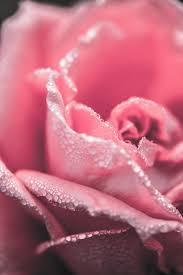Pink Rose iPhone Wallpaper