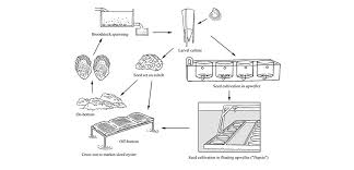 Oyster Grading Chart The Life Cycle Of Oysters In Aquaculture Element Seafood
