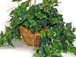 If ingested, ivy can cause difficulty breathing, skin rash, paralysis, and  even put your dog into a coma.